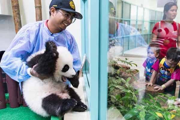 """旅马大熊猫的马来西亚""""奶爸"""""""