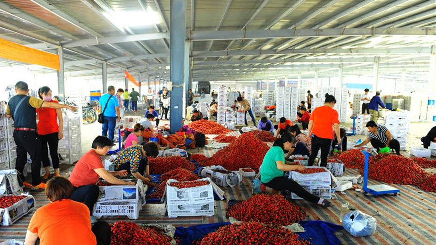烟台樱桃产业助力乡村振兴 农民可支配收入超2万元