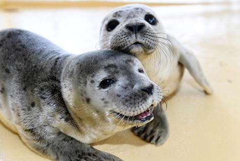 德被弃海豹宝宝开心等饭吃 对镜头甜笑萌翻了