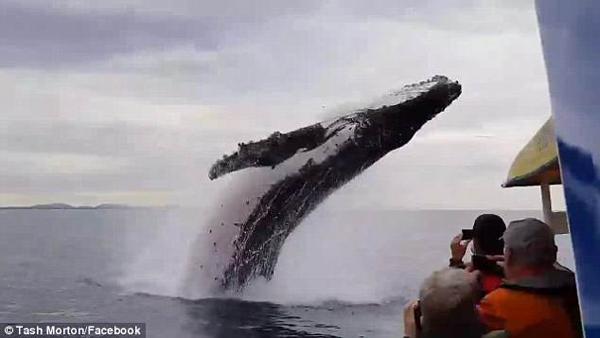 大海变秀场!澳座头鲸腾空跃起掀起大浪戏游人