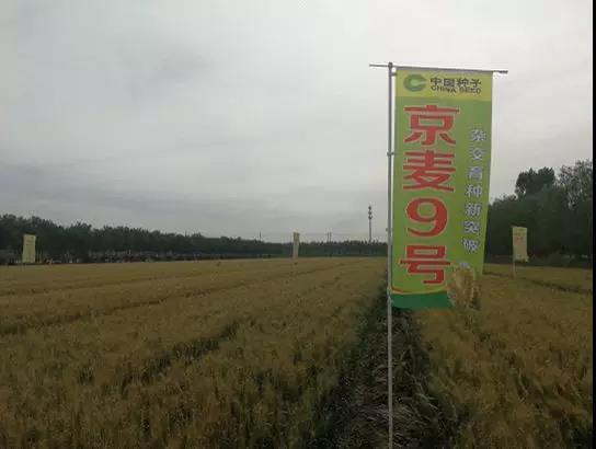 杂交水稻解决了中国人的吃饭问题,现在杂交小麦也来了