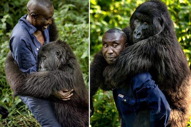 刚果大猩猩超黏人 赖饲养员身上要背背