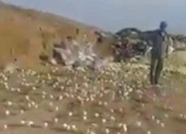 稀奇!格鲁吉亚垃圾场变质鸡蛋竟孵出数百只小鸡
