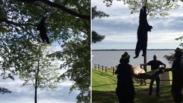 """美国一黑熊爬上20米高树顶被消防员用""""绳降""""救下"""