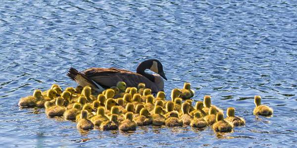 加拿大鹅夫妇当保姆替同类照顾51只鹅宝宝