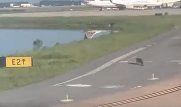 美短吻鳄爬上机场跑道逼停正在滑行飞机