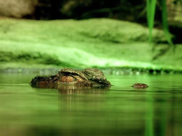 美国佛罗里达海滨公园一短吻鳄拖拽一名路人入水