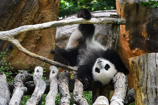 """旅法大熊猫母子齐亮相 """"圆梦""""宝宝倒挂不慎摔倒糗大了"""