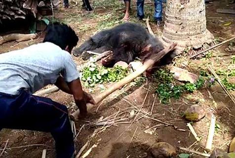 印村庄闯进黑熊袭击村民致2死7伤被乱棍打死