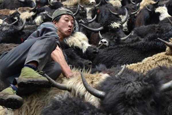 """四川宝兴硗碛藏乡牧民与牦牛上演""""别样舞会"""""""