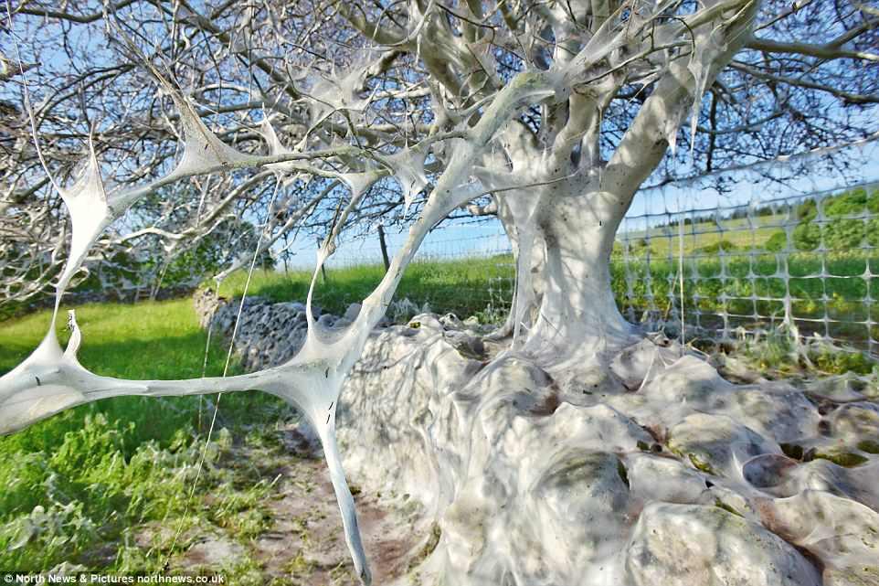 瘆人!英国约克郡大树被毛毛虫网全覆盖