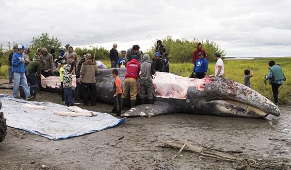 美原住民非法捕食灰鲸未受指控引众人不满