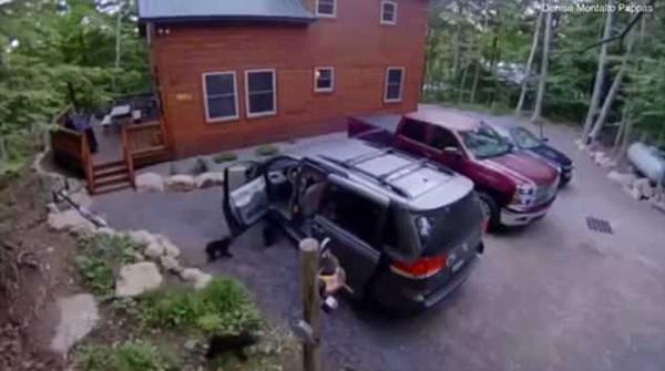 """上车啦!美国一母熊打开车门带幼熊""""车内一游"""""""