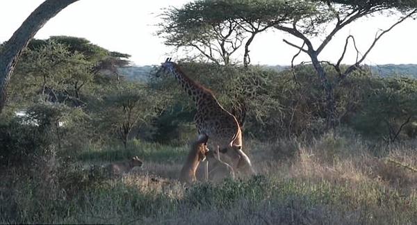 策略制胜  非洲4只狮子通力合作扑倒大块头长颈鹿