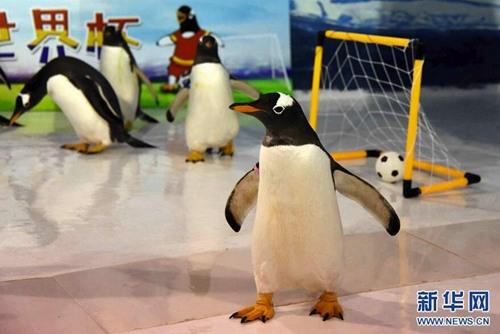 """企鹅也踢""""世界杯"""""""
