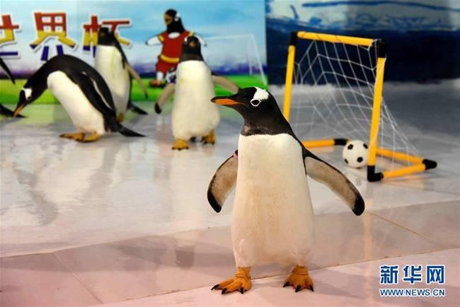 """企鹅也踢""""世界杯""""(图)"""