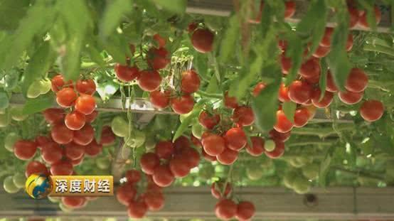 300斤的大南瓜土豆也能筑长城 观光农业让菜篮子变成钱袋子