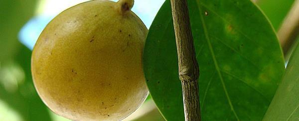 来见识下世界上最毒的树:外形可爱 但剧毒致命