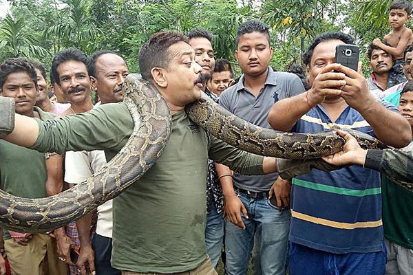印度护林员捕获9.1米长巨蟒