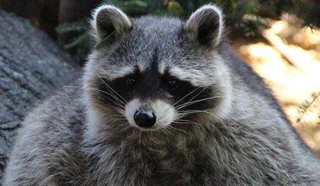 中国球迷在俄喀山动物园被浣熊咬伤