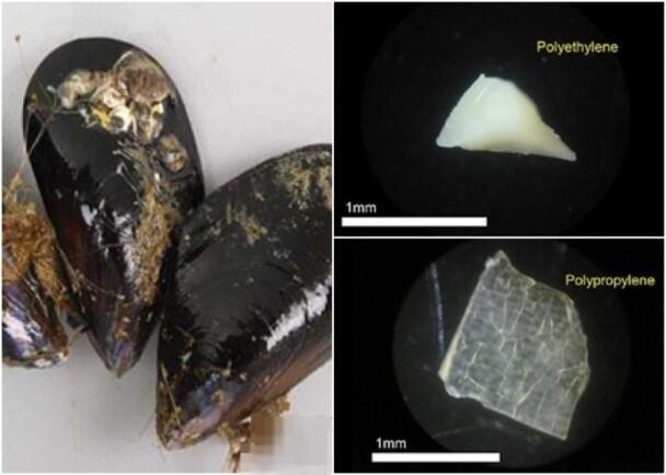 日本东京湾及冲绳贝壳类水产中首度发现大量塑胶微粒
