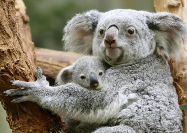 科学家尝试通过移植粪便方法改善树熊挑食问题