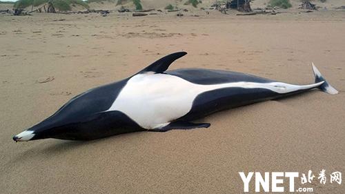 美国俄勒冈海滩现罕见露脊鲸尸体 20年来只有五次 水族馆:很悲伤