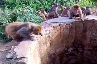 印度热心猴群井边大叫引人注意 令落水豹子获救