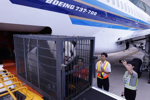 武汉大熊猫疑遭虐待 乘飞机回四川休养