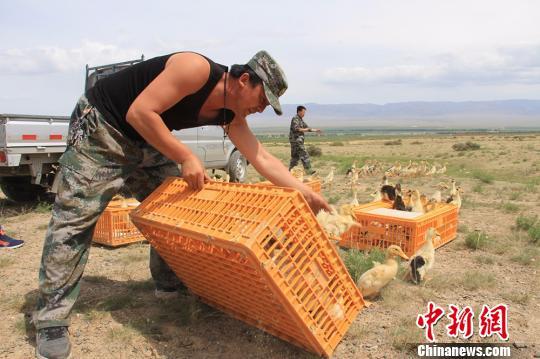 新疆兵团农场为消灭蝗灾 投放千只鸭苗治理草场
