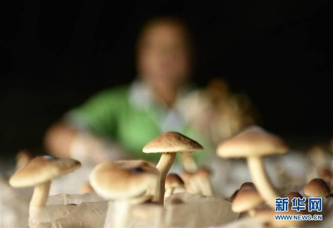 贵州松桃:变废为宝发展食用菌产业(组图)