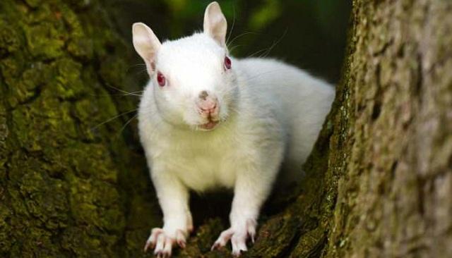 英国现罕见雪白松鼠 系白化病所致全英仅50只