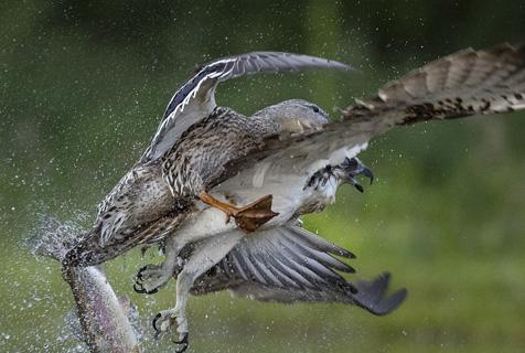 逆袭!鱼鹰遭野鸭猛烈进攻 放弃猎物狼狈而逃