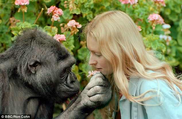"""懂手语的大猩猩""""可可""""去世:享年46岁"""