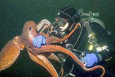 """加拿大男子潜水被章鱼当成""""猎物"""" 死死纠缠"""