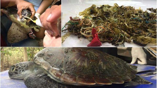 珍稀海龟在泰国海滩上被废塑料撑死 专家:大海成了垃圾场