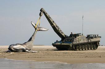 海滩上突然出现鲸鱼尸体!荷兰出动战斗救援车