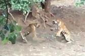 印度摄影师拍下罕见雌雄两虎打斗画面