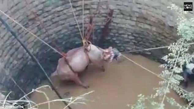 别样救援!印度村民徒手从深井中拉出一头公牛