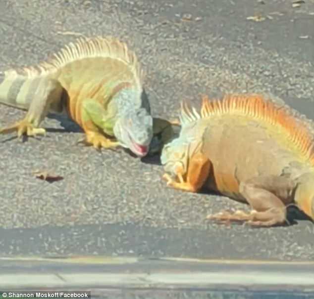 美佛罗里达州两只鬣蜥停车场纠缠打斗致交通堵塞