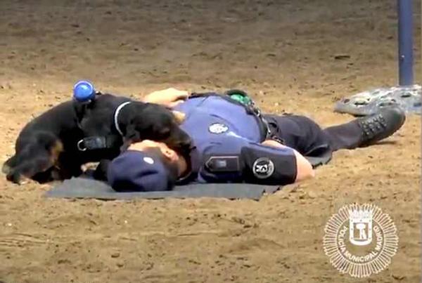 训练员假装晕倒后警犬上演暖心一幕:做心肺复苏