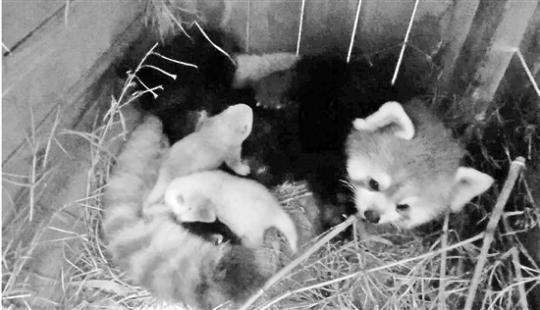 难得看到的小熊猫宝宝