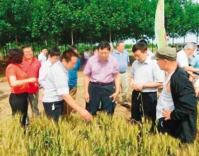 中国杂交小麦研发正领跑