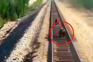 俄母熊为保护幼崽不幸遭火车碾压身亡