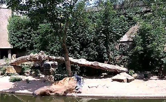 """苍鹭闯进动物园狮笼 成母狮""""盘中餐"""""""