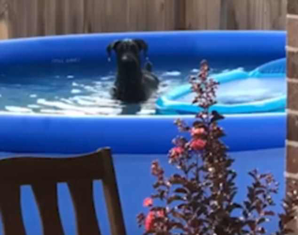 美国狗狗偷玩主人泳池 被抓包后表情内疚萌翻人