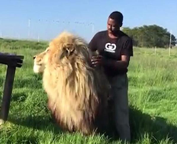 难以置信!南非动物管理员亲密抚摸拥抱雄狮