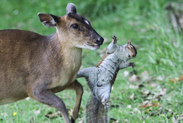 英国松鼠为抢食大秀拳脚功夫 击败麂鹿和野鸡