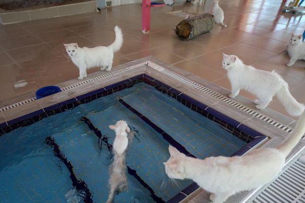 萌喵满池!土耳其为国宝凡猫打造专属泳池