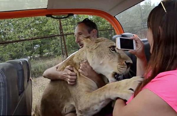 招架不住!俄动物园母狮子对游客上演撒娇戏码